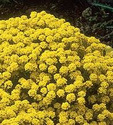 1-Alyssum-Mountain-Gold